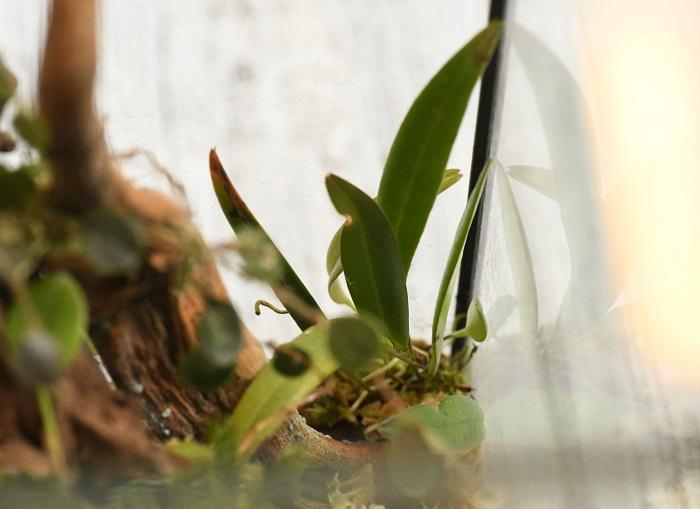 こちらも小型のラン、プレウロタリス・アレニイ(Pleurothallis allenii)。  先ほどのミスタクスの仲間ですが、葉の形が細長いタイプです。近くに植える植物は葉の形が異なるもの同士を組みあわせると変化がつきます。
