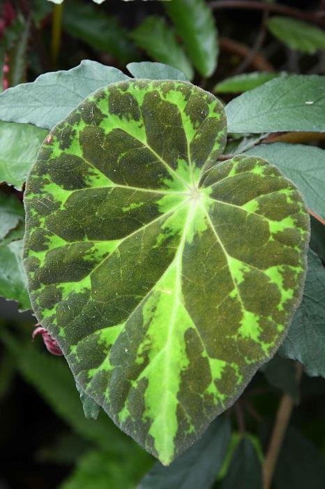 「熱帯らしい華やかな色彩のベゴニアも美しいですが、緑ベースの葉ながらこれも美しいものの一つ。白っぽい葉脈のまわりに明るいグリーンが入り、そのほかは濃緑色。渋めの色合いながら、はっとするような美しさがありますよね」