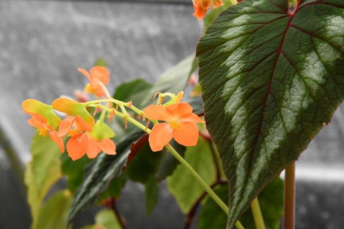 「せっかくなら花も楽しみたいという人におすすめなのがカタヤーナ。直径4cmほどの、ベゴニアとしては比較的大きなオレンジ色の花を咲かせます」