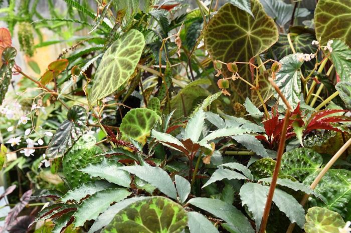 原種として出回る植物でも、育てやすいものが選抜されているものもありますが、原種ベゴニアの多くは自生していたものをふやしたものが多いので、育て方にちょっとコツがあるものもあります。
