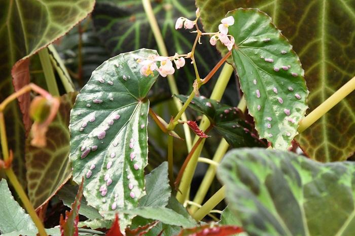 もともと熱帯雨林のジャングルで育つベゴニア。日光がしっかり当たらない部屋でも育てることができるので、観葉植物としてもとてもポピュラーな植物です。  江戸時代には中国から持ち込まれたシュウカイドウという植物が国内でも帰化植物*となっているほか、明治時代になると海外から様々な種や品種が入ってくるなど、古くから親しまれている植物です。  そんなベゴニアが、最近ちょっと注目を集めているのを知ってましたか?  現在ベゴニアはおよそ2000種が見つかっており、中には性質を生かして観葉植物やガーデン草花として楽しまれているものもあります。  これだけたくさんの種が見つかっていながら、今でもベゴニアは次々に新しい種が見つかっているというから驚きです。