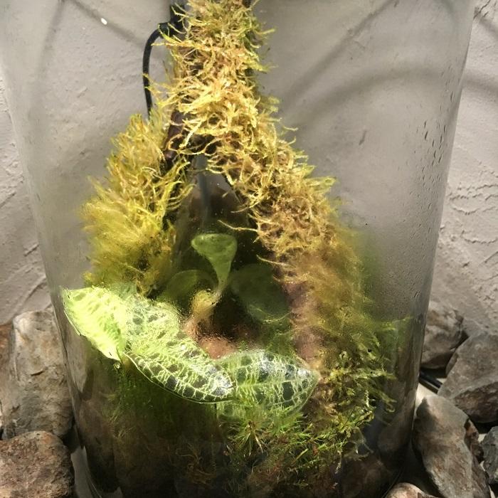 その後、アクアショップで見つけたウィローモスを着生させた流木を入れたり、ジュエルオーキッドを追加。  最初から全体のプランを立てて作るのもいいですが、ちょっとずつメンテナンスしながら発展させていくというのもトイレリウムの魅力かもしれません。
