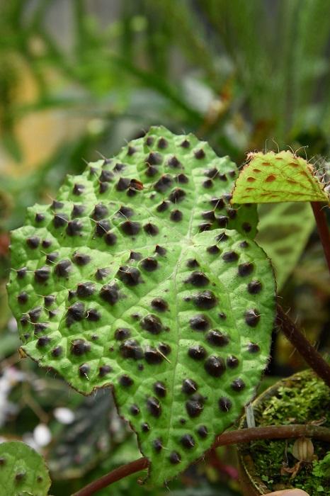 「メラノブラータはベトナム産のベゴニア。株が小さいときは滑らかな葉をしていますが、大きな株になるにしたがって葉に突起が出来るようになります。しっかり成熟した株になれば、写真のようなゴツゴツとしたワイルドな葉をつけるようになりますよ」