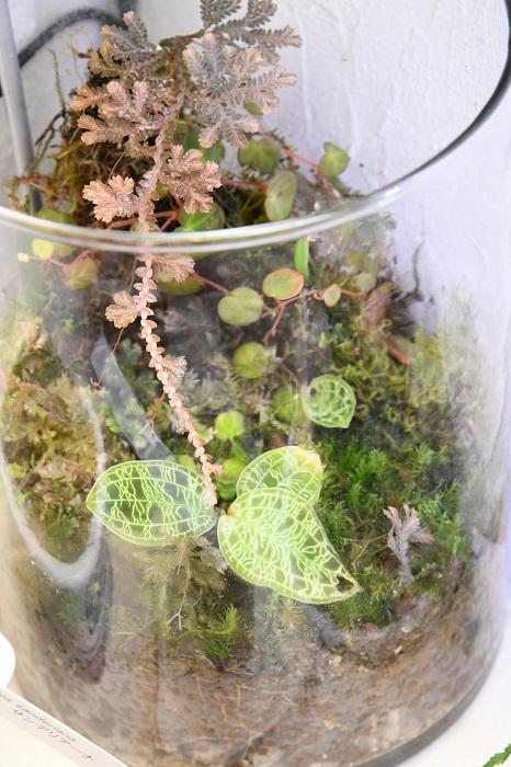 そして現在の状態がこちら。  今(2019年4月)、植えてあるのは  苔(複数) つる性ベゴニア ジュエルオーキッド(マコデス・ペトラ) コンテリクラマゴケ(レインボーファーン) ラン(プレウロタリス・アレニイ) など。  土に植えたコンテリクラマゴケやつる性ベゴニアは勝手に流木を這い上って育ち、ジュエルオーキッドも小株が増えたりしています。