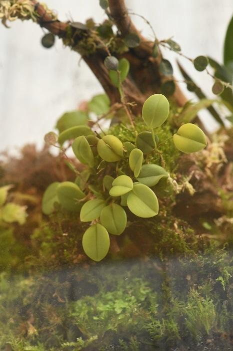 流木の中ほどに着生させ、全体のメインに使ったのはランのプレウロタリス・ミスタクス(Pleurothallis mystax)。  丸くてやや厚みのある直径1cm程度の葉がかわいい、小型のランです。