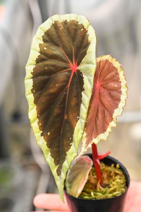 「葉の縁の部分に明るい色が入ることを「覆輪(ふくりん)」といいますが、これは濃褐色の葉に薄いライムグリーンの覆輪が入る種。黒いベゴニアとして人気のベゴニア・ダースベイデリアナ(Begonia darthvaderiana)も似たような雰囲気の葉ですが、こちらの方が断然育てやすいです。一時期に比べればダースベイデリアナも手に入りやすい価格になりましたが、まずはこれを育ててみてから挑戦してみるのもいいかもしれません」