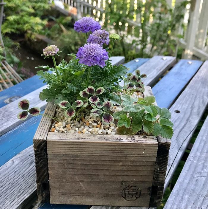 Photo by:今村久美子スカビオサ、クローバー、ワイルドストロベリーを植え、砂利を敷いて箱庭風に作りました。