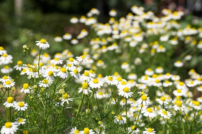 カモミールには、ローマンカモミールとジャーマンカモミール以外にも種類があるんです。カモミールの代表的な種類をご紹介します。  ローマンカモミール 学名:Anthemis noilis  分類:多年草  草丈:25cm以下  特徴:春から秋にかけて白いデイジーのような小花を咲かせます。踏まれても枯れないことからグラウンドカバーに用いられます。葉にも花にも芳香があり、踏んで歩くとリンゴやパイナップルのような甘い香りがするのが特徴です。  ローマンカモミールは多年草ですので、冬期は枯れて無くなりますが、翌春に芽吹いてまた花を咲かせてくれます。  ジャーマンカモミール(ブルーカモミール) 学名:Matricaria recutita  分類:一年草  草丈:30~50cm  特徴:ジャーマンカモミールは草丈が高い一年草です。ローマンカモミールと同様に白いデイジーのような小花を咲かせます。ジャーマンカモミールは花にしか香りがありません。一年草ですが、こぼれ種で毎年増えますので、一度植え付ければ毎年楽しめます。  ジャーマンカモミールはまたの名をブルーカモミールとも呼ばれています。エッセンシャルオイルを作る過程で青い色が生成されることから名付けられました。  その他のカモミールの種類 ハーブとして利用されているのは、ローマンカモミール、ジャーマンカモミールの2種類ですが、カモミールには他にも種類があります。  ノンフラワーカモミール ノンフラワーカモミールは、ローマンカモミールの園芸品種で、名前の通り花の咲かないカモミールです。踏んで歩くと香りがするので、芝生のようにグランドカバーとして使われます。  ダイヤーズカモミール ダイヤーズカモミールは、ローマンカモミールの仲間です。常緑多年草で、初夏に黄色の花を咲かせます。ハーブとして利用されることはありませんが、耐寒性もあり強健で、花の可愛らしい観賞用の草花です。