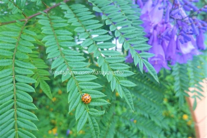 ジャカランダの花言葉は「栄光」と「名誉」です。
