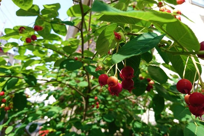 特徴:4月頃桜の花をミニチュアにしたような小さな花を咲かせます。5月にはグリーンの実が付き、6月に入る頃に赤黒く熟します。直径1㎝程のサクランボのような果実は、生食の他、果実種やジャムなどにして楽しめます。 丸みを帯びた葉も可愛らしく、こちらの施工事例のように堅い印象になりがちな場所で、雰囲気を和らげるような役割もしてくれます。