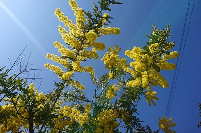 特徴:シルバーグリーンの細かい葉を通年楽しめる樹木です。ソメイヨシノと同じ頃にふわふわとした黄色の花を咲かせます。横に枝を広げながら大きくなるので見応えのある樹形となります。大きくなるので、適宜剪定を行い樹形を整えます。印象的な樹木なので、こちらの施工事例では玄関アプローチに植栽しました。