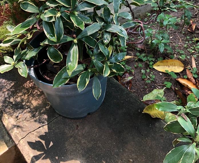 葉に斑が入ったジンチョウゲ。ジンチョウゲは挿し木にしてあるのか、脇に鉢がずらり並んでいました。