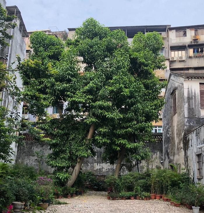 奥の庭園にあった大きな木。マンゴーのようでした。ここは大きなマンゴーの木と、枝挿しされた銀木犀やブーゲンビリアなどたくさんの鉢が並んでいました。