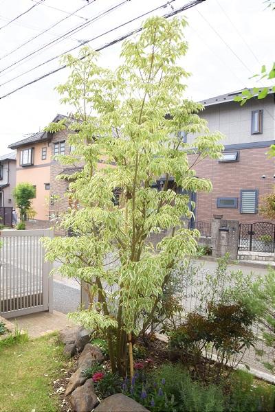 学名:Acer negundo  分類:落葉高木  育て方:特別な手入れはせずとも良く育ちます。大きくなる樹木なので、適宜剪定を行います。  特徴:切れ込みのある葉が印象的な樹木です。中でもフラミンゴという品種は葉の先端が淡いピンク色をしています。葉の質感も柔らかく、多年草などの草花が多いお庭に植えると良く合います。写真の施工事例のように、石と彩り豊かな植物との対比を意識したコーディネートもおすすめです