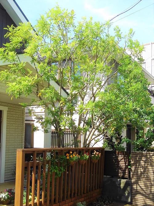 学名:Fraxinus griffithii  分類:半常緑高木  育て方:半常緑性なので冬には多少葉を落としますが、枯れたわけではありません。根付いてからは特に必要な作業はありません。  特徴:光沢のある小さな葉が華奢な印象の樹木です。株立ちで植えると、華奢な印象が強調されます。こちらの施工事例のように、シンボルツリーと目隠しを兼ねた用途もおすすめです。