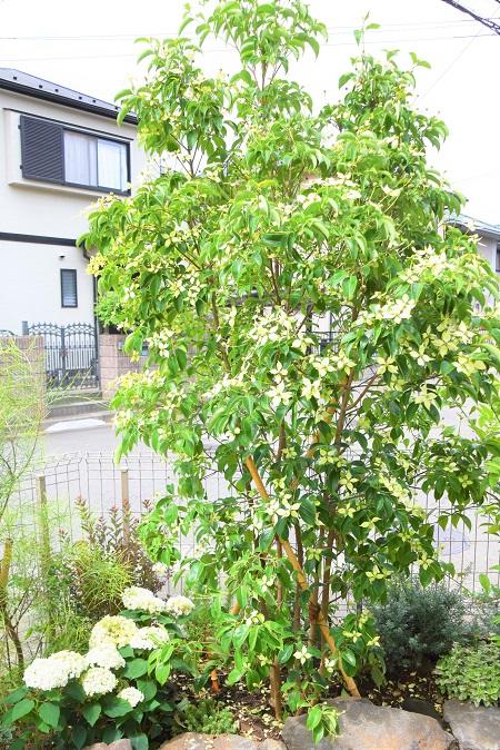 学名:Cornus honkongensis  分類:常緑高木  育て方:特別な手入れはせずとも良く育ちます。大きくなる樹木なので、適宜剪定を行ってください。  特徴:ハナミズキやヤマボウシと良く似ている、常緑樹です。ハナミズキに比べて葉の表面に光沢があります。5月後半から6月にかけて、ハナミズキに良く似た花を咲かせます。こちらの施工事例では、目隠しと雰囲気作りに活躍してくれています。