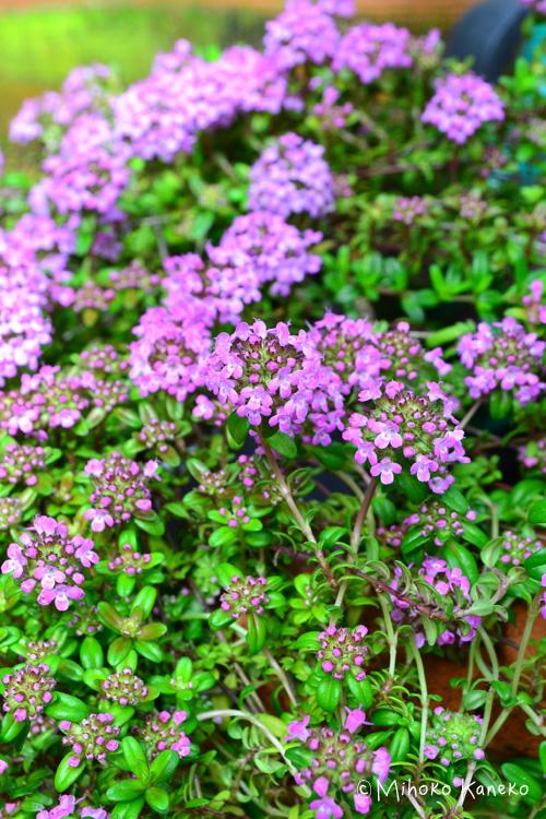 園芸用の花苗としても流通しているタイム。最近はたくさんの品種が流通し、品種によって花色が違います。春に地面一面にびっしりとかわいい花が開花します。  タイムの生長のタイプは「立性」と「這性」の2つに分かれます。どちらが自分の用途に合うかで品種選びをしましょう。