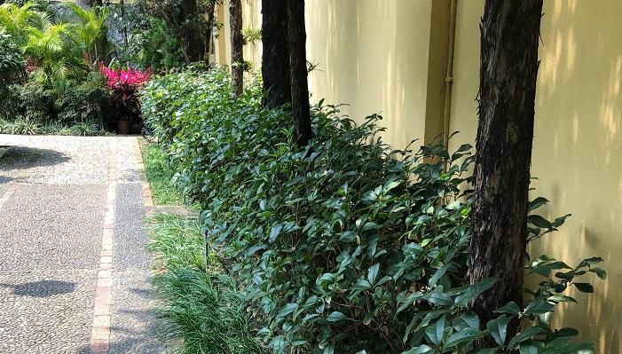 こちらに低く植えこまれているのは銀木犀!花が咲いています。