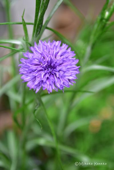 青がオリジナルですが、最近は色の種類も豊富です。ピンク、白、紫系濃淡、ブラックなど様々。切り花として様々な色が流通しています。