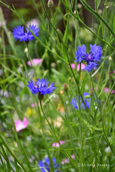 ハーブ名だとコーンフラワーはキク科の一年草。日当たりと風通しのよい場所なら、放任でもたくさんの花が春から初夏に開花します。もともとのハーブとしてのコーンフラワーは青の花ですが、最近では白、ピンク、紫濃淡、黒、複色など色幅がとても豊富、花丈も1m以上の高性から、矮性まで様々です。寄せ植え、庭植えなどの用途に応じて使い分けることができます。