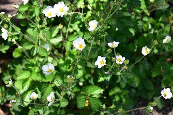 花丈は矮性でグランドカバーとして使えるものから、60cm以上の花丈まで様々です。花丈の出るものは、株元付近に咲くというよりは、花茎を長くあちこちに伸ばして自由な雰囲気に散らばって咲きます。