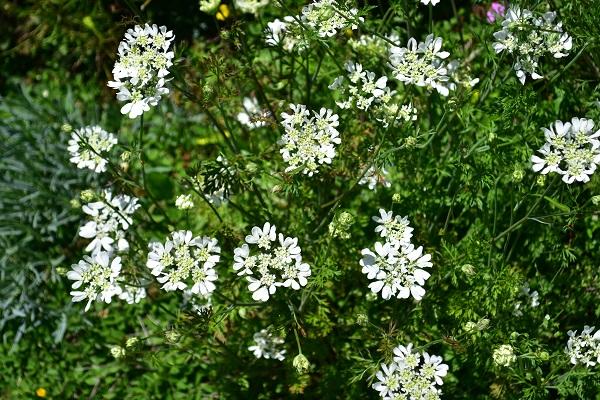 清楚でナチュラルな感じが魅力で人気の植物、オルレア(オルラヤ)。夏の蒸れに弱いので、夏に枯れてしまうことが多く一年草として扱われることが多いです。開花期が長く、花付きも良いのでたくさんの花を楽しめます。環境に合えばこぼれ種で増えていきます。