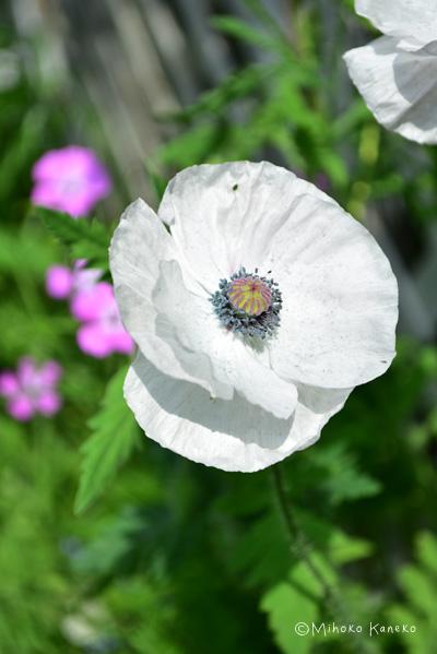 シャーレーポピーは5月に咲く一年草のポピー。種まきから育てたものですが、咲いた花は去年とは若干違う色あいでした。おそらく交雑したのだと思います。同じ白い花でも、しべの色とポピーシードの部分の色合いが少しずつ違う花が開花して、見ていて飽きないバリエーションです。