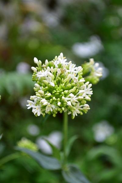 セントランサスは、別名レッドバレリアン、ホワイトバレリアンと呼ばれる宿根草のハーブです。赤や白の花が春から秋まで長期間、開花します。草丈があるので花壇向きのハーブです。