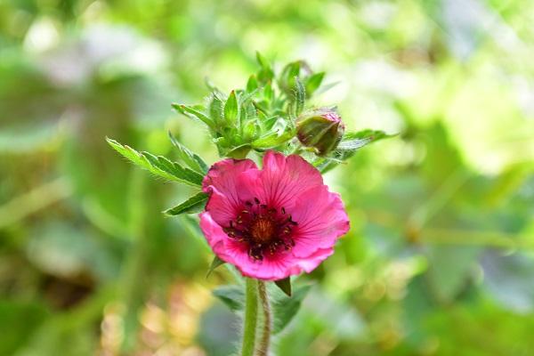 ポテンティラは春から初夏に可憐な小さな花が次々と開花します。ポテンティラは、1本の花茎から茎先が枝分かれして数輪の花がつく形状をしています。終わった花がらは、花だけを摘み取り、花茎の花の開花がすべて終わったら、株元から茎を剪定しましょう。