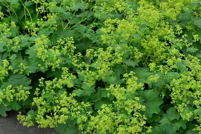 アルケミラモリスはバラ科の多年草のハーブ。ハーブではレディスマントルという別名で呼ばれることもあります。明るい葉の色が美しく、初夏にかけて黄緑色の小花が開花します。