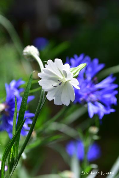 今年は突然、真っ白な花が咲きました。自然からの贈り物のような嬉しい出来事。近くにブルーのヤグルマギクがあるので、ブルー×白の色合わせがとてもさわやか