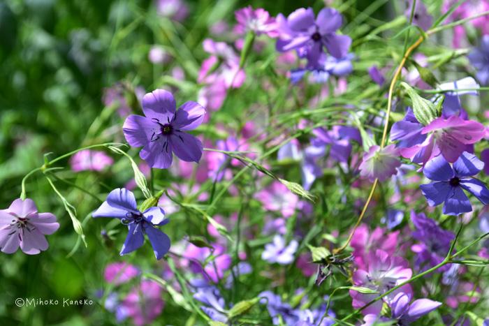 ビスカリアはナデシコ科の一年草。茎が細くて風にそよそよと揺れるように咲くか弱そうな花ですが性質は丈夫。