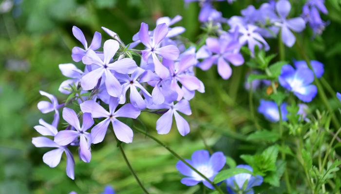 葉っぱが株元付近に集中していて花の近くにないせいか、隣の草花を邪魔することなく共演してくれる素敵な宿根草です。
