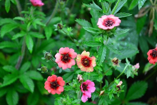 ポテンティラはゲウムと同じくバラ科の宿根草。ゲウムと花が似ていますが、両者の違いは葉っぱで見分けることできます。最近、新品種がたくさん出てきました。花色は、オレンジ、アプリコット、黄色、白、赤、ピンク系濃淡などとても豊富です。