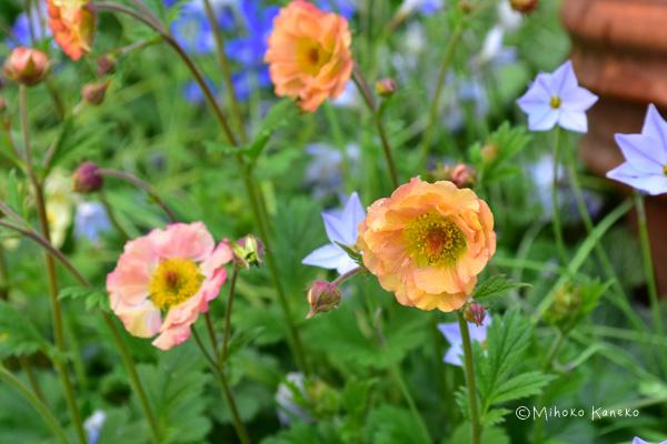 ゲウムは葉っぱがダイコンの葉に似ているので別名ダイコンソウと呼ばれバラ科の宿根草です。最近、次々と新品種が出てきてました。花色も豊富、花丈も矮性から高性まで様々。咲き方も一重咲きから八重咲まであります。花の形はイチゴの花をもう少し大きくしたようなかわいらしい花です。その他うつむいて咲く釣鐘型の品種もあります。