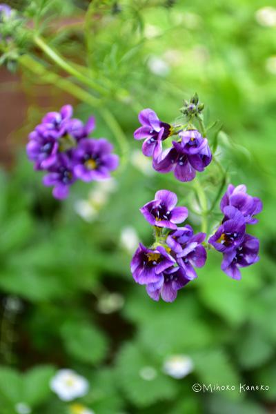 深い紫色の種類もあります。