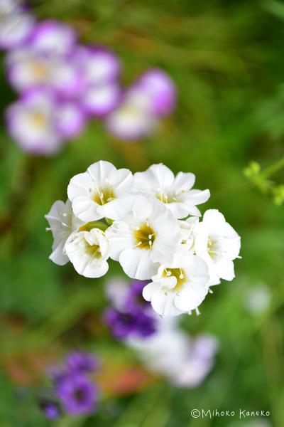 白花のギリア・トリコロール