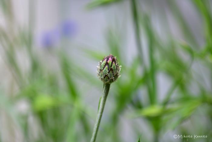 ヤグルマギクのつぼみ  草花のつぼみは形がおもしろいものが多いですね。