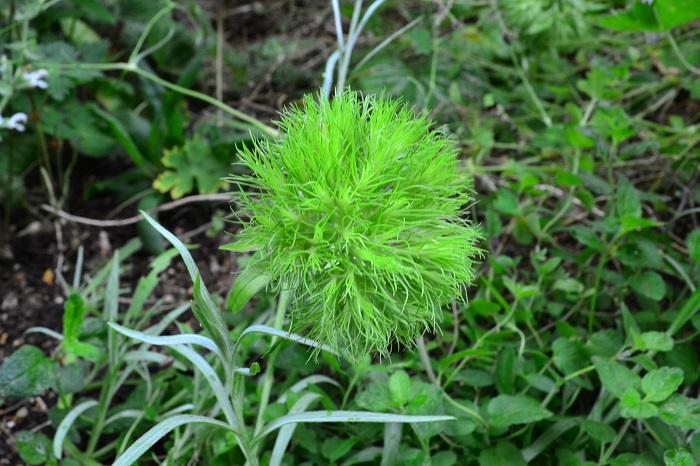最近では切り花では、ほぼ通年流通しているテマリソウ。苗としては2016年から流通するようになったニューフェースです。環境にあえば繰り返し咲く四季咲きの宿根草です。苗ものとしても切り花としても、花持ちがとてもよいのが利点です。グリーンのボールのような花は庭のアクセントになるのでは。