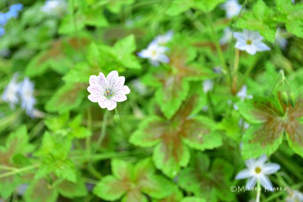 ゲラニウムは別名フウロソウとも呼ばれるフウロソウ科の宿根草。5月くらいから初夏の間中、開花します。