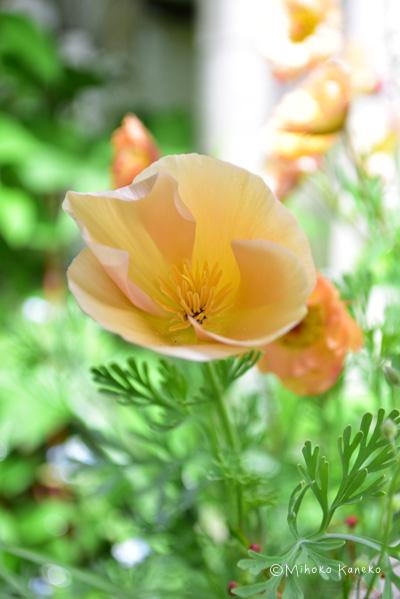 アプリコット色のカリフォルニアポピー  オレンジ系のバラとアプリコット色のカリフォルニアポピーを合わせると、フルーティーな色合いが楽しめます。  その年の気分にあわせてバラと宿根草の色にあわせてカラーコーディネートしてみては。