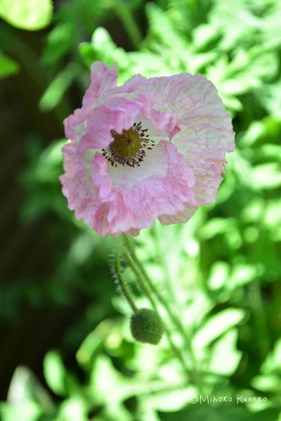 薄紙のようなクシャっとした花びらがおもしろいシャーレーポピー