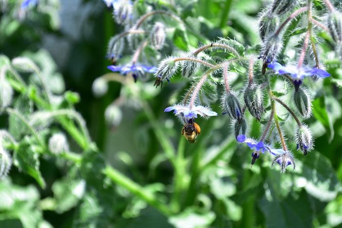 ボリジの花にはミツバチなどの受粉時の送粉者(ポリネータ)が集まり、周りの植物の実付きがよくなると言われます。