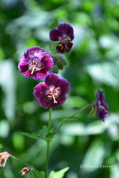 ゲラニウムはたくさんの品種があり、ナチュラルな雰囲気が好きな方に人気の宿根草です。品種によって開花が始まる時期が早めの4月からのものと、5月中旬以降のものがあります。年々株が見事になり、たくさんの花が開花している様子は見事です。