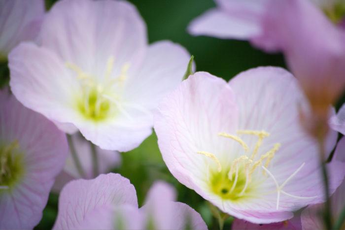 学名 Oenothhera tetraptera   和名 月見草(ツキミソウ) 別名 白花夜咲月見草(シロバナヨルサキツキミソウ) アカバナ科マツヨイグサ属 2年草、多年草 原産国 メキシコ 月見草は名前からも想像がつくように、夏の夜(6月~9月)夕方から夜にかけて花を咲かせます。花が咲き始めてから満開になるまでは10分程で満開になり月に照らされるように咲く様子が美しい植物です。  土から数本の茎を出してその先に4cm~5cmの花を咲かせます。茎の背丈は平均して20cm程ですが、環境によっては60cm位まで伸びる事もあります。  花色が変わる? 月見草(ツキミソウ)の花びらは薄く光を通す柔らかそうな花びらをしています。咲き始めは白く徐々に朝に近づく頃、淡いピンク色に色づき静かに花びらを閉じで1夜を終えます。