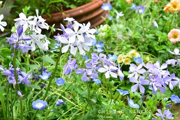 宿根フロックスは品種によって、春に咲くものと夏に咲くものがあります。バラに合わせるなら、春に咲く品種を選びましょう。春に咲く宿根フロックスは、葉っぱが株元付近に集中していて花の近くにないせいか、隣の草花を邪魔することなく共演してくれる素敵な宿根草です。