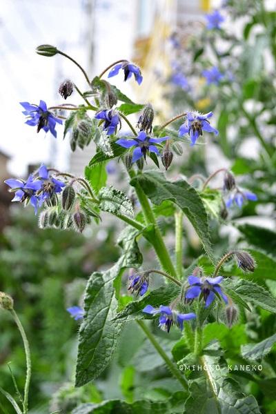 ボリジはムラサキ科の一年草のハーブ。春から初夏に澄んだブルーの星型の花が開花します。ボリジは花のかわいい見た目とは裏腹に性質は強健。1株で無数の花をつけ、地植えにすると、1~1.5mの花丈になります。環境に合えば、こぼれ種でも増えていきます。