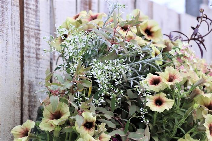 先生方 単体で植えると変化が見られないけれど、何種類か寄せ植えすると、それぞれの良さを活かし合うことができるんです。例えば、大きな花が咲くペチュニアと、そこに細かい花が咲くユーフォルビア・ダイアモンドフロストが入ったり、美しいカラーリーフが入ることによって、お互いが引き立て合って美しい景色になるんですよ。