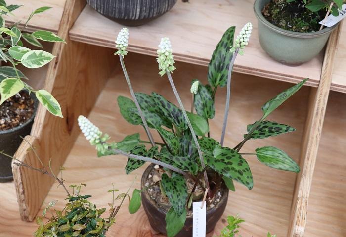 ドリミオプシス・マクラータ  この観葉盆栽が可愛くてとっても気になりました。盆栽は場所をとらなくていいですよね。KIDORIさんならお気に入りの盆栽がみつかりそうです。ホームページからもお買い物できるそうですよ。