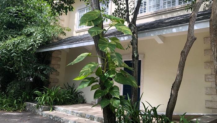 ポトスはつる性植物の特徴でもある登坂性があり、茎の伸びる方向を上に向けて育てると、光合成をもっとしようとして葉が大きめに育つようになります。逆に、下に垂れ下げて育てる場合は、巻き付く植物を探すために移動がしやすいように葉が小さくなっていきます。鉢物で土管理のものは、支柱を立てて上向きに茎を誘引するのもいいですね。